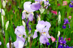 Flower bed irises Stock Photo