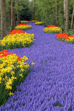 Flower bed, Keukenhof Royalty Free Stock Image