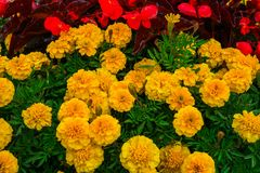 Flower bed with marigold flowers in the sity park royalty free stock photos