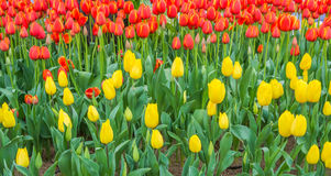 Flower bed of multi color tulips. Royalty Free Stock Photography