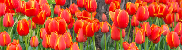 Flower bed of multi color tulips. Stock Image