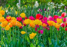Flower bed with multi-colored tulips on high green stems in the rays of the spring sun. For your design Stock Photography
