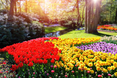 Flower bed with multicolor tulips and daffodils Stock Photo
