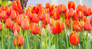 Flower bed of multicolor tulips on day time. Stock Images