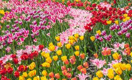 Flower bed of multicolor tulips Royalty Free Stock Photography