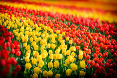 Flower bed of multicolor tulips at spring Stock Image