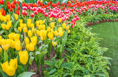 Flower bed of multicolor tulips at summer. Stock Photo