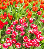 Flower bed of multicolor tulips at summer. Royalty Free Stock Image
