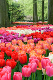 Flower bed of multicolored tulips Royalty Free Stock Photos