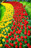 Flower bed of multicolored tulips Stock Photo