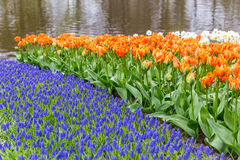 Muscari blue flower bed with orange tulips Royalty Free Stock Photo