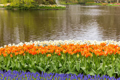 Muscari and tulips multicolor flowerbed in the park at Keukenhof. Flower bed of muscari and orange tulips near water from the garden of Europe royalty free stock image