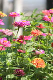 A flower bed at noon Royalty Free Stock Photo