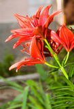A flower bed of orange lillies. Closeup picture of yellow and red lily flower Royalty Free Stock Photography