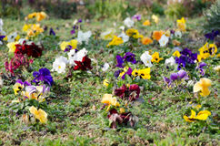 Flower bed of pansies flower bloomed Royalty Free Stock Photo