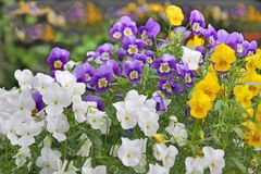 Flower bed with pansies Stock Images