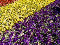 Flower bed from pansies, summer Stock Photography