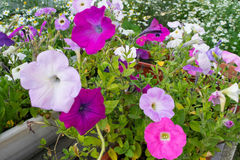 Flower bed of petunia of different colours Stock Image