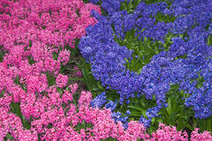 Flower-bed of pink and lilac hyacinths Royalty Free Stock Images