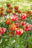 A flower bed with pink and red tulips, Stock Photography