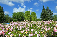 Flower bed of pink roses in the park. Flower bed of pink roses with a picturesque view to the park. Trees and blue sky with scattered clouds in the background Stock Images