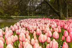 Flower bed of pink tulips as foreground in the park at Keukenhof Royalty Free Stock Photo