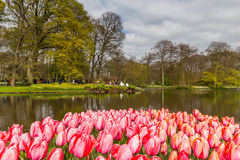 Flower bed of pink tulips as foreground in the park at Keukenhof Stock Images