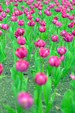 Flower bed of pink tulips Royalty Free Stock Photo