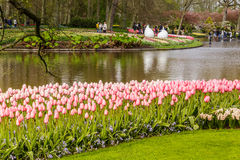 Pink tulips flower bed of  in grass near water in the park at Keukenhof Royalty Free Stock Photo