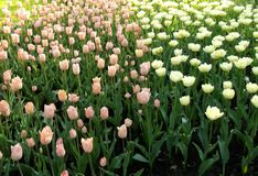 Flower bed of pink and white tulips. stock photography