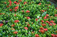 Flower bed plants of red ixora flowers. With lots of green leaves stock photography