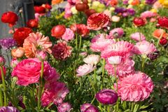 Flower-bed with poppies Royalty Free Stock Photos