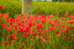 Flower bed of poppies Stock Photo