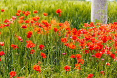 Flower bed of poppies Royalty Free Stock Images