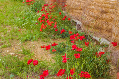Flower bed of poppies Stock Photos