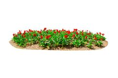 Flower bed of Red Canna Lily canna x generalis flower isolated on white background. A flower bed of Red Canna Lily canna x generalis flower isolated on white royalty free stock photos