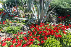 Flower bed with red geranium and aloe, Turkey Royalty Free Stock Images