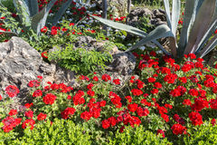 Flower bed with red geranium and aloe, Turkey Royalty Free Stock Photo