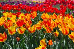 Flower bed of red-orange tulips terry. Stock Photos