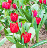 Flower bed of red tulips on day time. Stock Photography