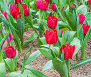 Flower bed of red tulips on day time. Royalty Free Stock Image
