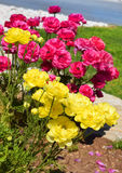 Flower bed with red and yellow peonies Stock Photo