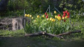 Flower bed with red, yellow tulip flowers and green grass stock video footage