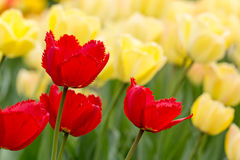 Flower bed with red and yellow tulips Stock Photos