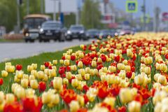 Red and yellow tulips in the town alley. stock photo