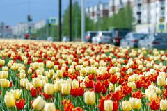 Red and yellow tulips in the town alley. stock photos