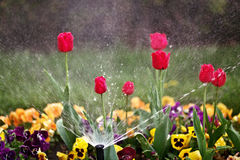 Flower Bed Sprinkler. Sprinkler sprays water on various flowers on bed Stock Photo