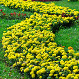 Flower bed of Tagetes Royalty Free Stock Photos