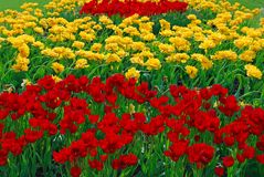 Flower bed of tulips Royalty Free Stock Photography