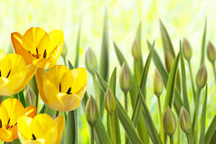 Flower bed with tulips Royalty Free Stock Image
